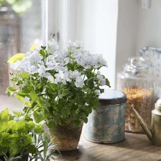 Geraniums Indoor Kitchen
