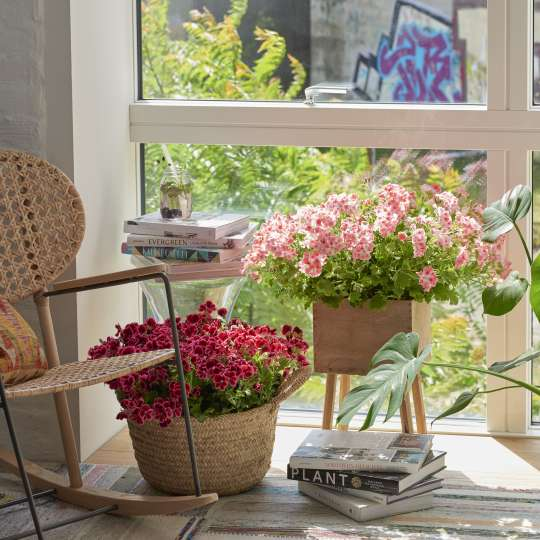 Geraniums in the City