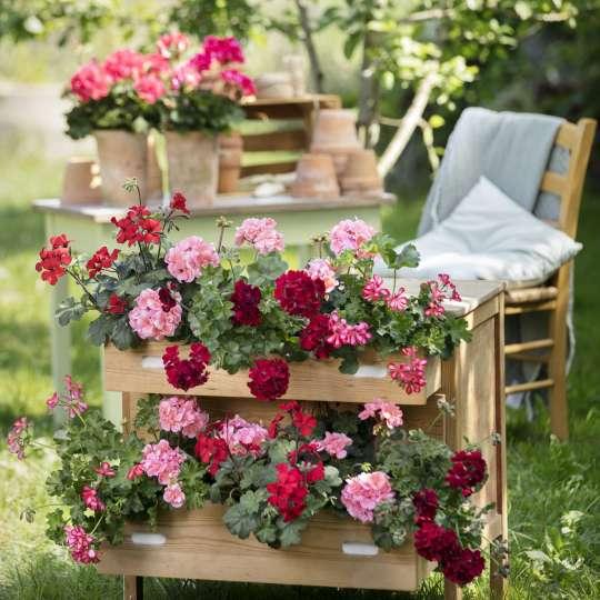 Eine der beliebtesten blühenden Beet- und Balkonpflanzen im Frühjahr ist die Geranie