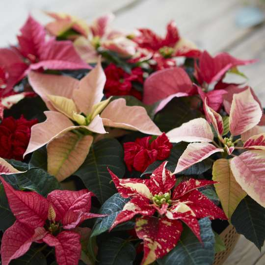 Weihnachtsstern-poinsettia-Pflege